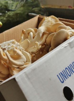 osyter mushrooms (1600x993)